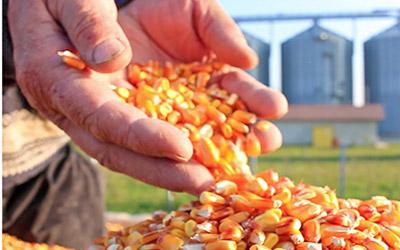Maissaatgutbestellung
