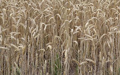 Hilfen für dürregeschädigte Landwirte