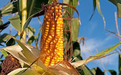 Der Feind im Maisfeld – Biologische Bekämpfung des Maiszünslers